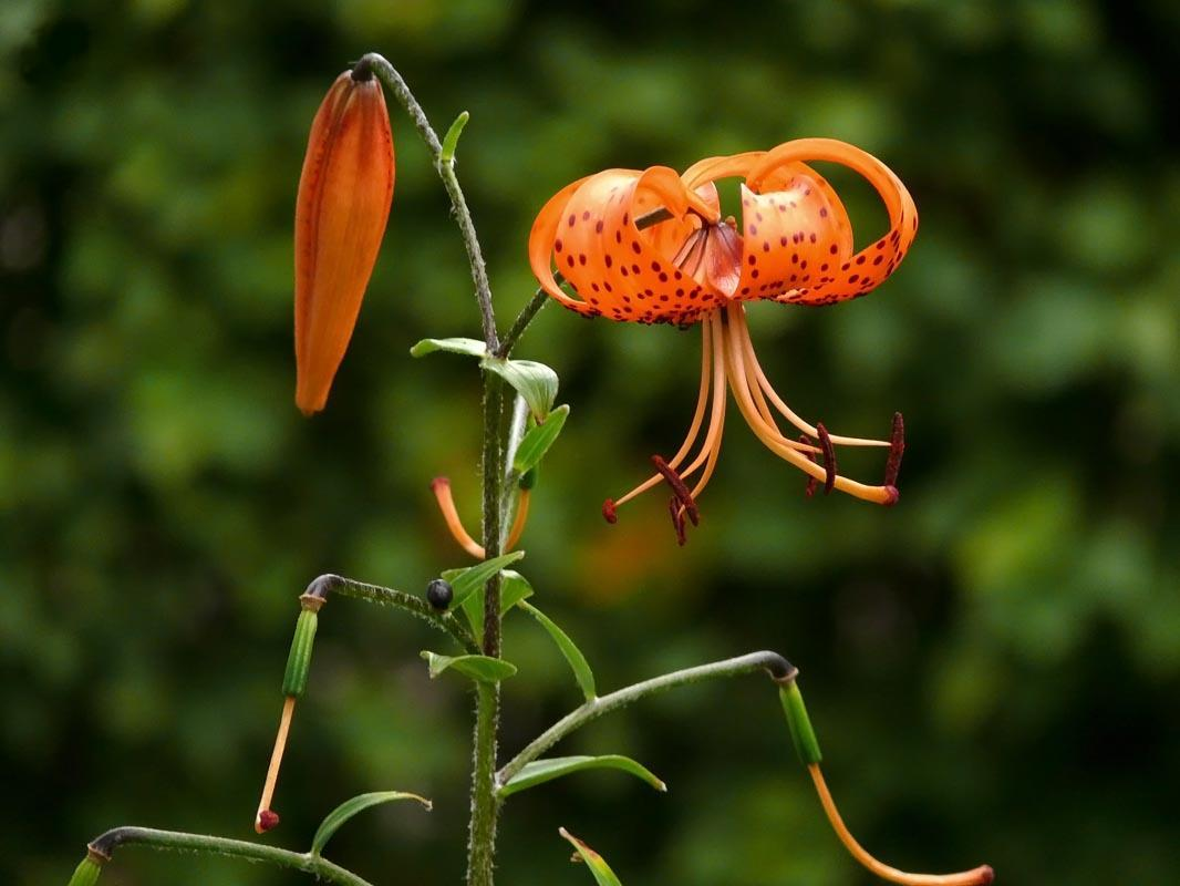 Лилия кудреватая (саранка): фото, описание, размножение, свойства