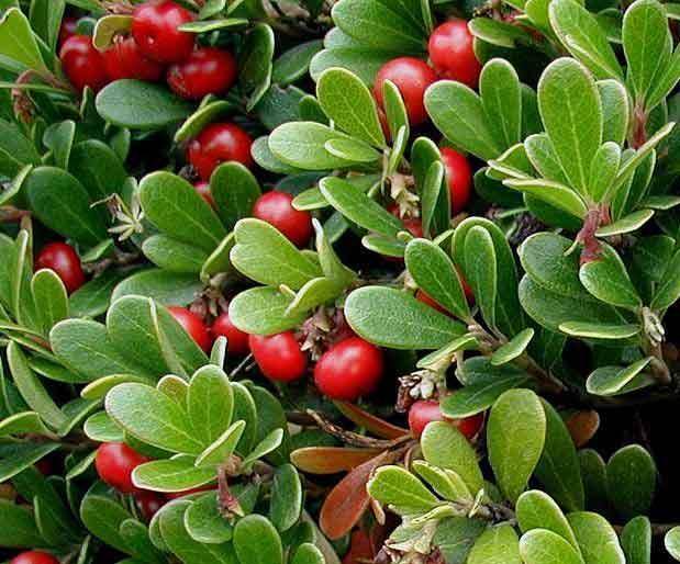 Толокнянка (трава медвежьи ушки) - лечебные свойства и противопоказания