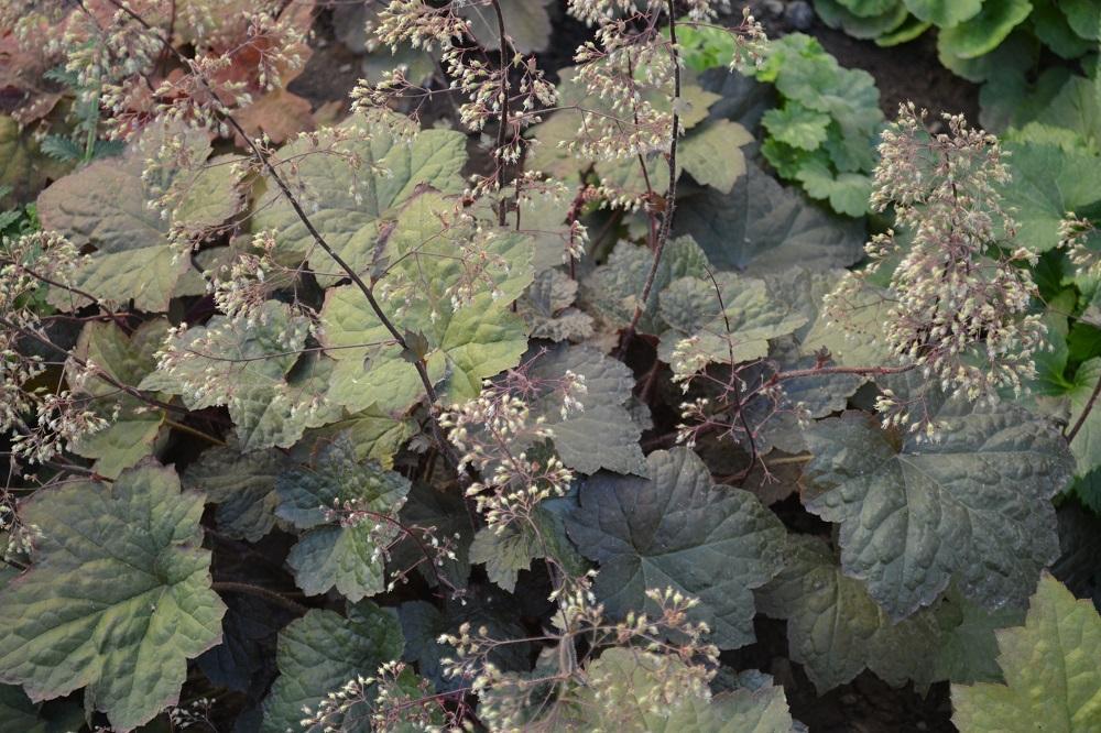 Гейхеры - пересадка, деление (черенкование) и омоложение цветов