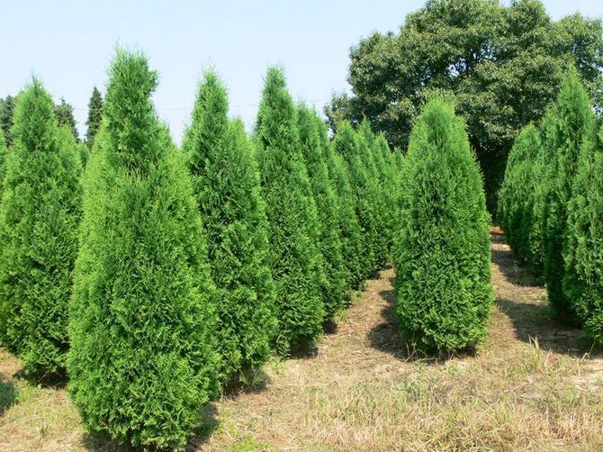 Туя Колумна описание уход и способы выращивания