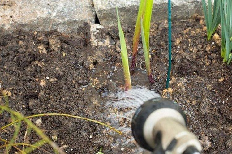 Когда выкапывать гладиолусы осенью в сибири