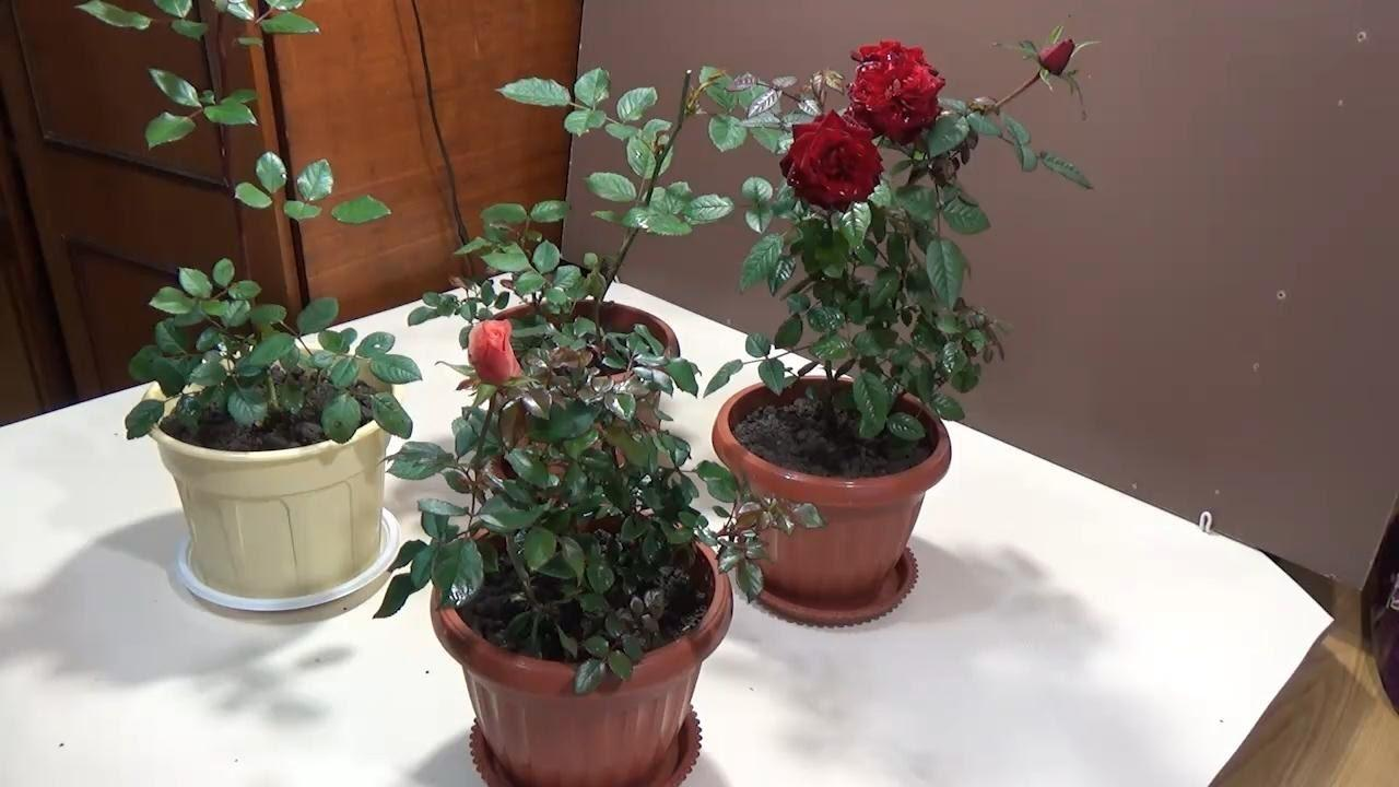 Роза кордана сколько цветет