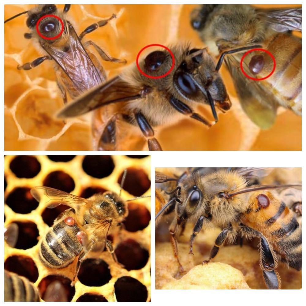 Обработка пчел от клеща: эффективные препараты и методы