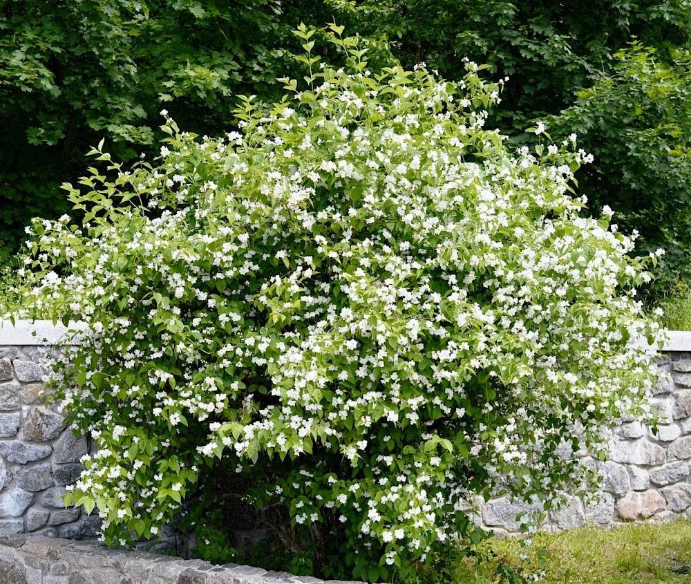 Все о растении жасмин: описание, где растет, как выглядит, запах жасмина