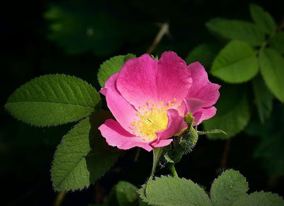 Дикая кустарниковая роза, 8 букв, 5 буква «В», сканворд