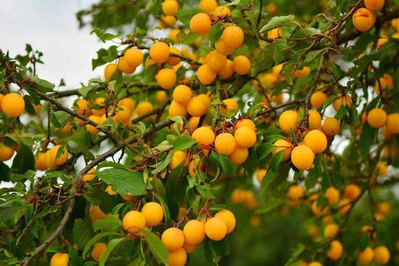 Все о плодовых растениях