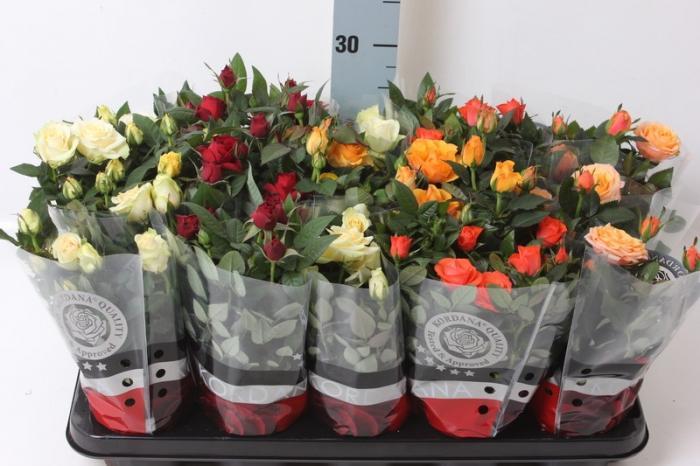 Об уходе за розой Кордана микс после покупки в открытом грунте в саду