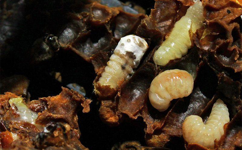 Основные болезни пчёл, их лечение и профилактика