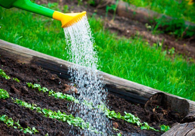 как часто поливать рассаду капусты в стаканчике