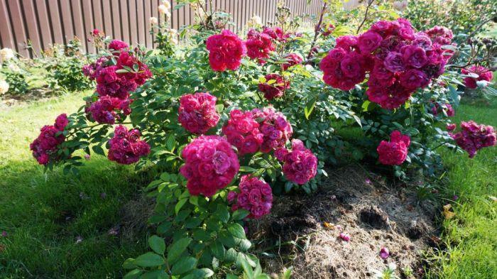 Роза спрей мими эден — Цветы365