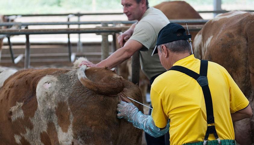 Искусственное оплодотворение коров