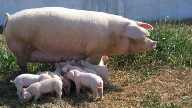 Порода свиней ландрас описание и характеристики разведение и условия содержания