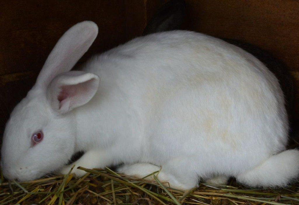 Кролики русские великаны белые их фото астры