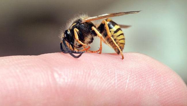 Укус пчелы: фото, как выглядит, симптомы, польза и вред, влияние на потенцию