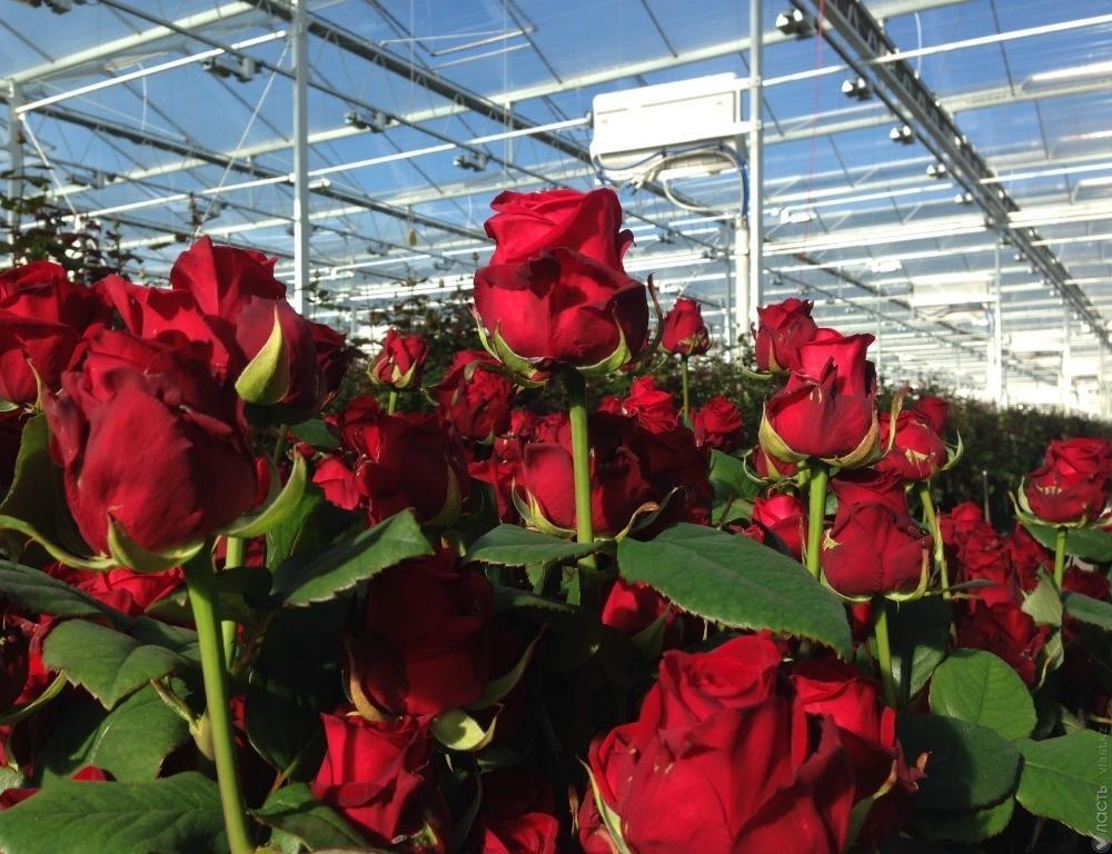 Описание лучших сортов голландских роз: как растут, как долго цветут