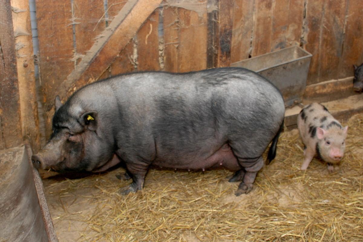 Хлев для свиней и поросят своими руками