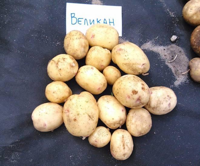 Характеристика картофеля Великан