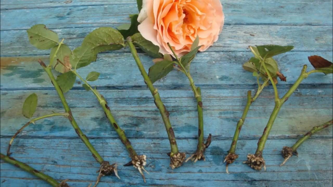 Как посадить розы осенью черенками