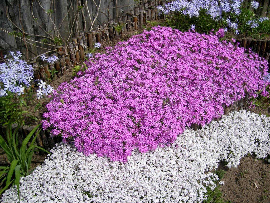 красавиц стелющиеся цветы фото названия для раскрашивания