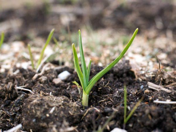Как ухаживать за озимым чесноком весной